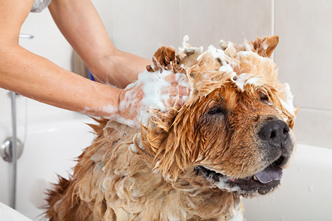 hygiene peau pelage chien