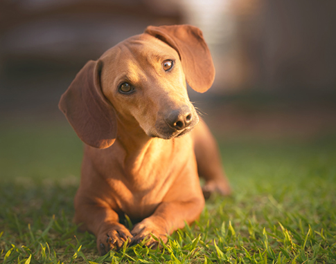 prevention chien puces